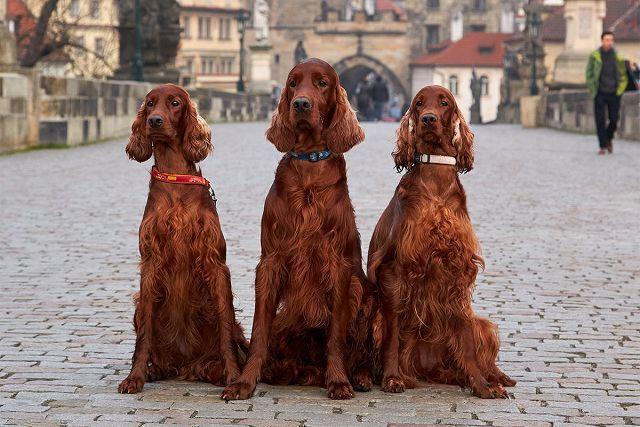 Собаки которые любят воду – ирландский сеттер.