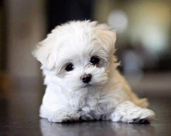 Какие собаки считаются самыми красивыми? мальтийская болонка
