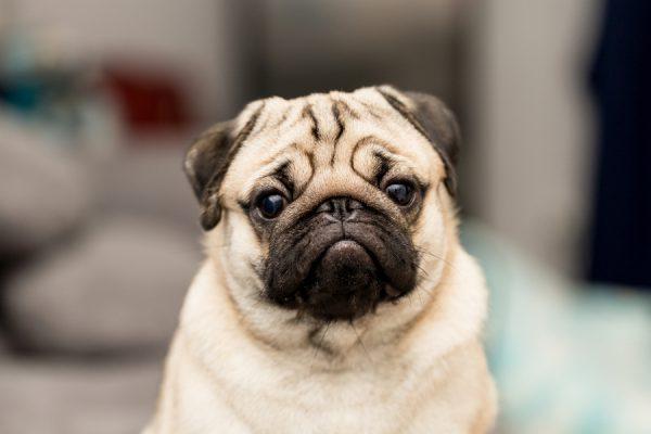Мопс. Какие собаки считаются самыми красивыми в мире?