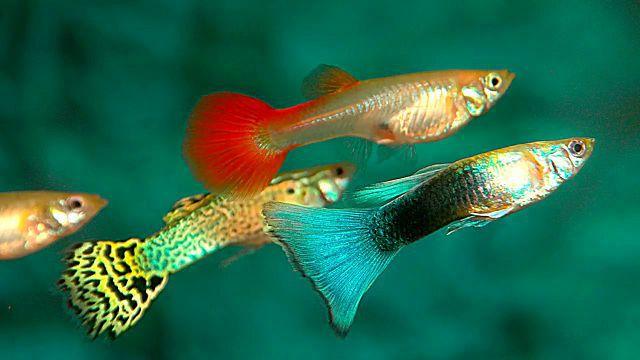 Самые неприхотливые рыбки для аквариума гуппи.
