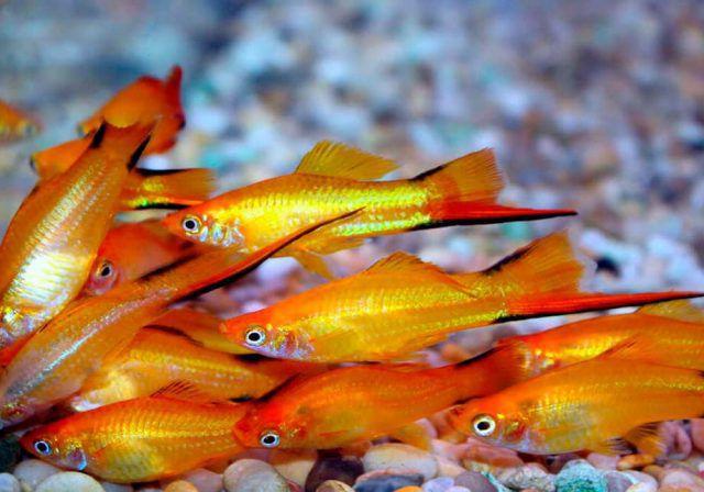 Самые неприхотливые рыбки для аквариума оранжевые меченосцы.