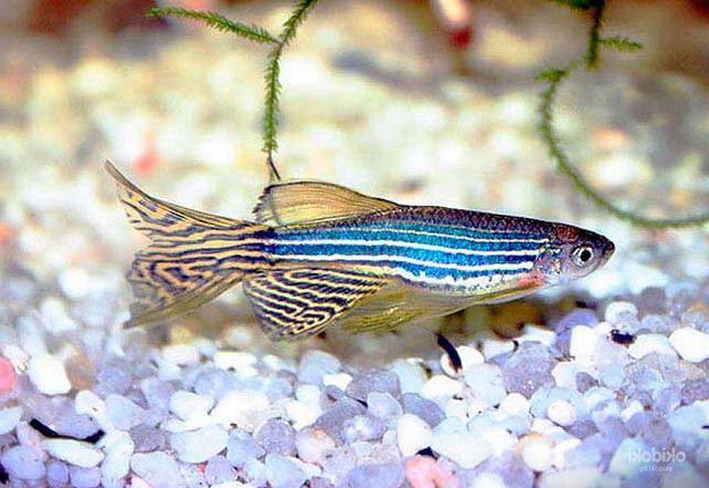 Самые неприхотливые рыбки для аквариума данио-рерио.