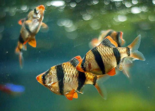 Самые неприхотливые рыбки для аквариума барбусы.