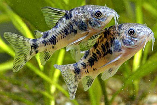 Крапчатые сомики для маленького аквариума.