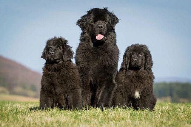 Собаки которые любят воду – ньюфаундленды.