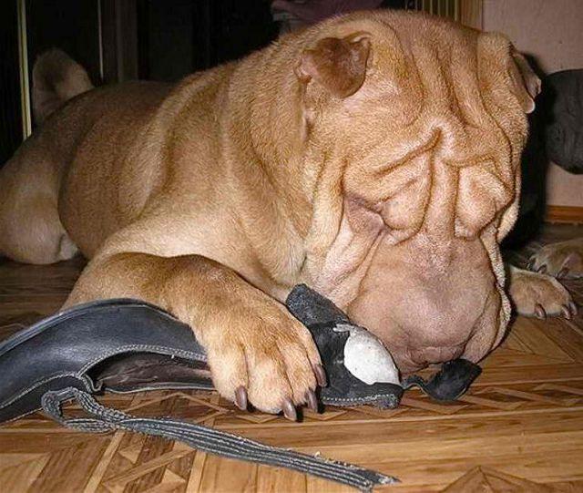 Почему собака грызет обувь и как отучить?