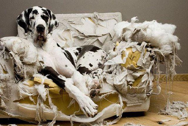 Почему собака грызет вещи, мебель и как отучить?