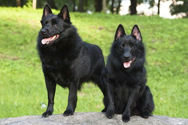 Собаки, которые любят воду – шипперке.