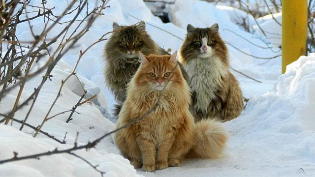Сибирские коты и 4 совета по уходу за шерстью.
