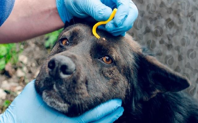Что делать, если собаку укусил клещ и как вытащить.