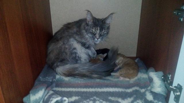 Кошка и котята мейн-кун.