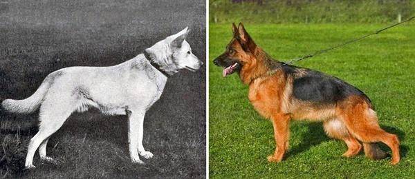 Какими были собаки 100 лет назад Собака, Генетика, Селекция, Порода, История, Изменения, Длиннопост, Старое фото