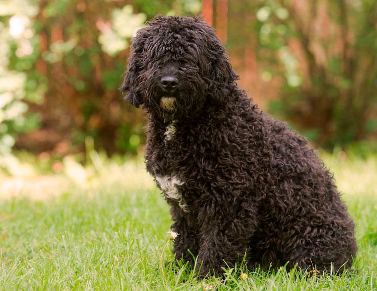 Собаки, не вызывающие аллергию – 9 пород с фото и описанием.