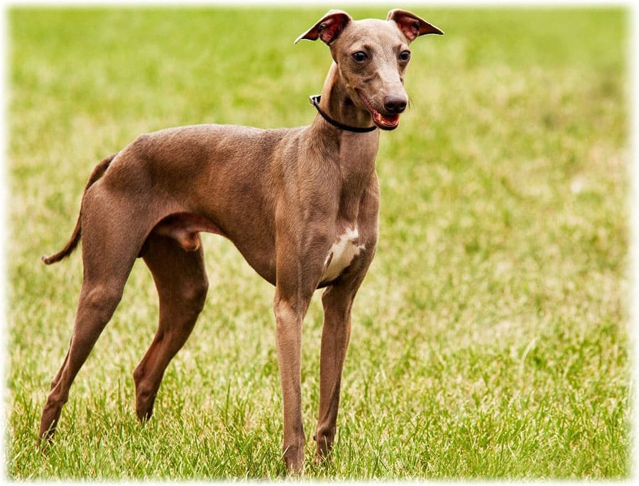 Итальянская борзая. Собаки, не вызывающие аллергию – 9 пород с фото и описанием.