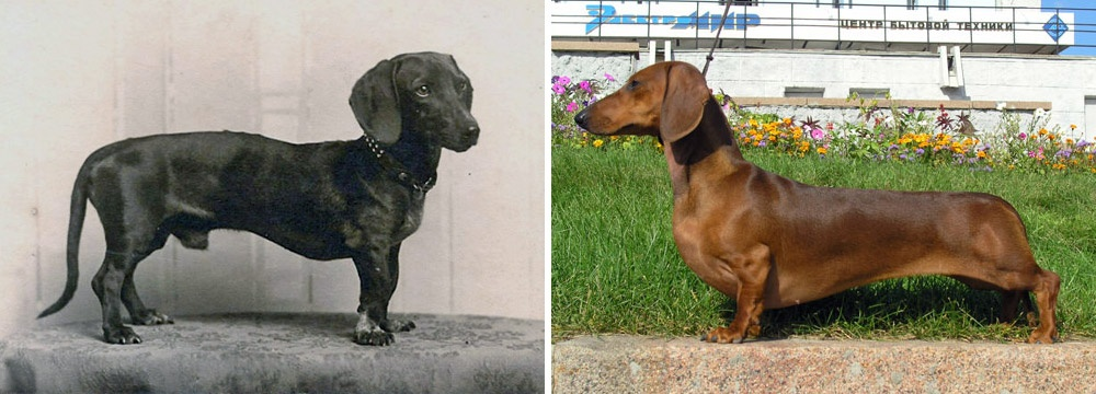 """Картинки по запросу """"такса 100 лет назад"""". Какизменились породы собак за 100 лет?"""