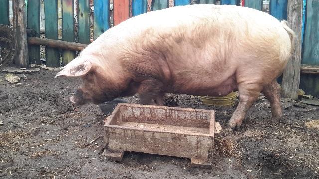 Кормление супоросных свиноматок рацион в домашних условиях.