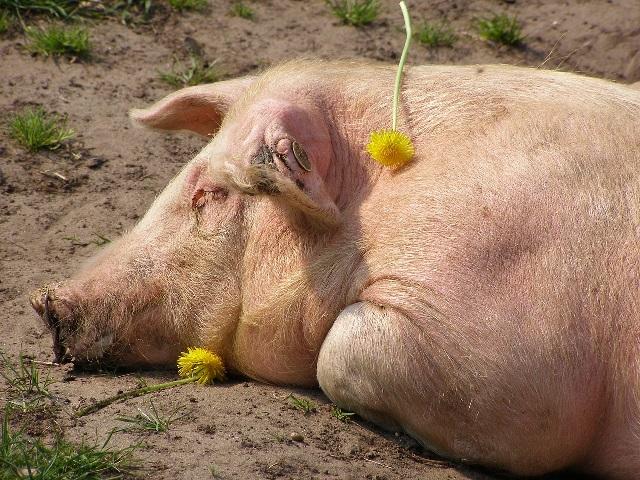 Кормление подсосных свиноматок рацион в домашних условиях.