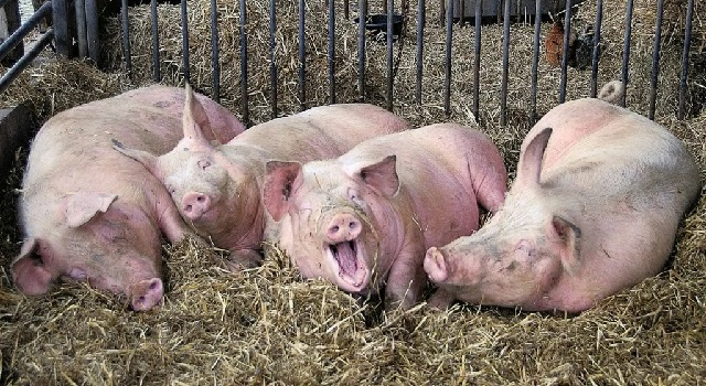 Кормление свиноматок рацион в домашних условиях.