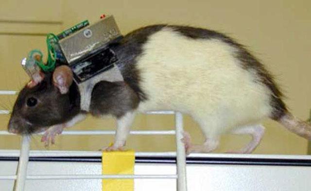 Крыса-киборг с электронным мозжечком.