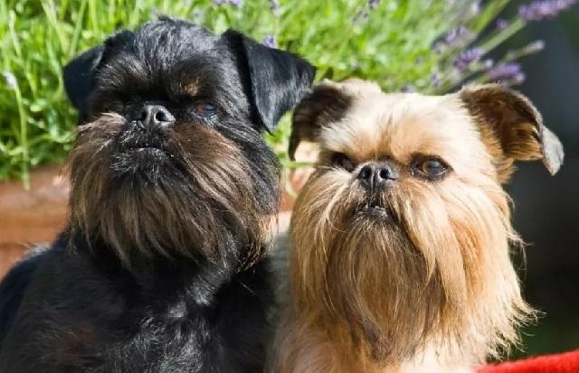 Самые миниатюрные породы собак Брюссельский гриффон.
