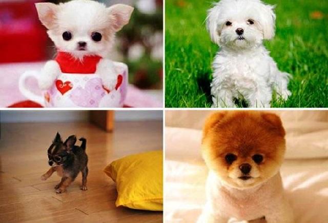 Самые миниатюрные породы собак с фото и описанием.