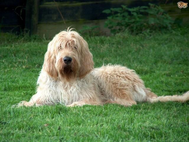 Оттерхаунд - Самые редкие породы собак