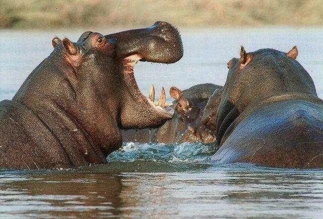 Бегемоты в дикой природе фото.