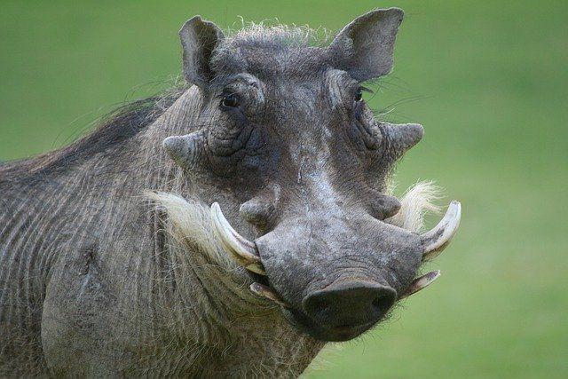 Бородавочник – забавное животное Африки.