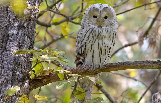 Длиннохвостая неясыть необычная сова.