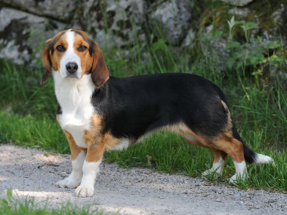 Самые редкие породы собак в мире – Drever