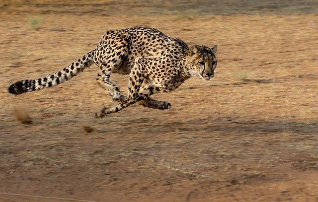 Пятнистый спринтер гепард на охоте.