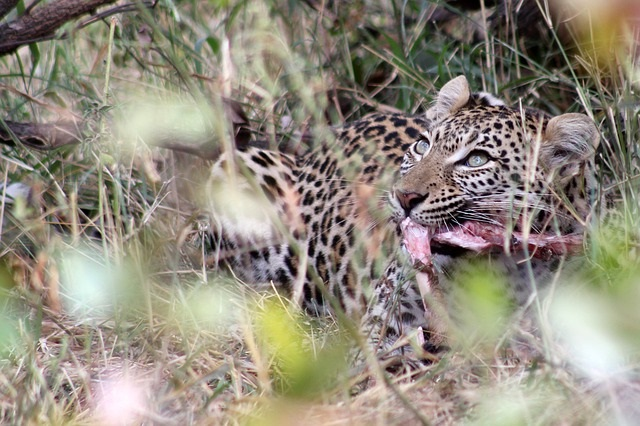 Обед гепарда после охоты.