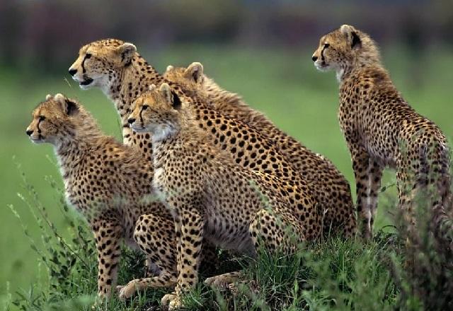 Семья гепардов в дикой природе фото.