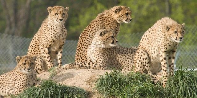 Гепарды в дикой природе фото.