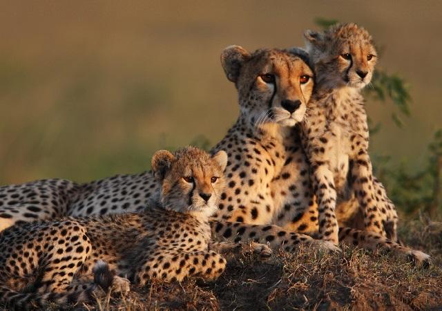 Детеныши гепарда фото.