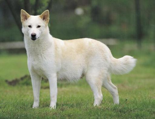 Самые редкие породы собак в мире – Ханаанская собака - описание породы, фото, видео, статьи