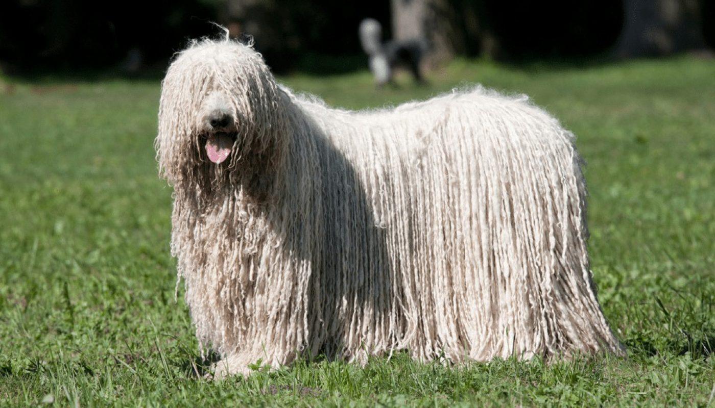 Самые редкие породы собак в мире – Komondor
