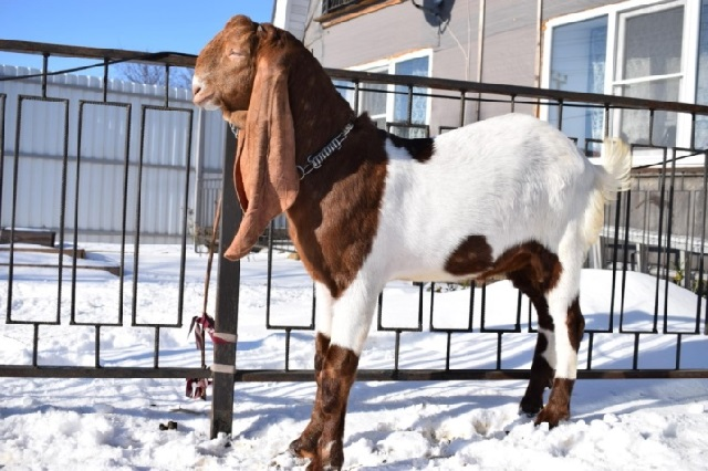 Красивые породы коз - камори.