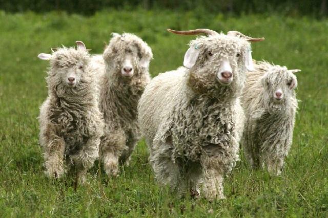 Ангорские козы кудрявые.