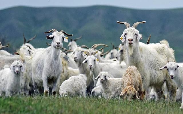 Оренбургская коза пуховая, самые красивые породы коз.