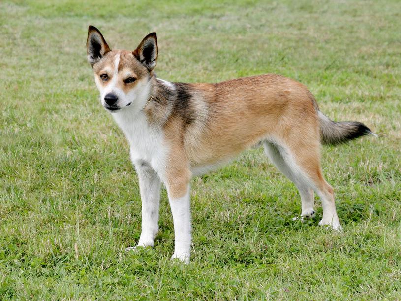 Lundehund: Typowy pies pierwotny