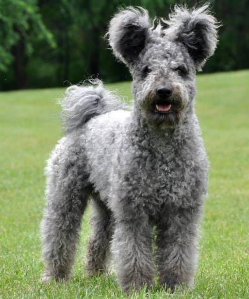 О породах собак. Венгерские пастушьи собаки*: пуми, муди. | Пикабу