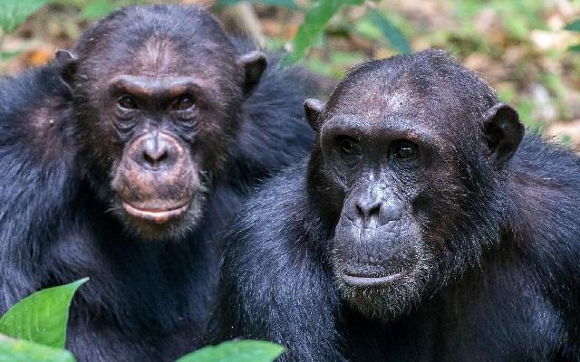 Обезьяны шимпанзе – звездные обитатели лесов Махале.