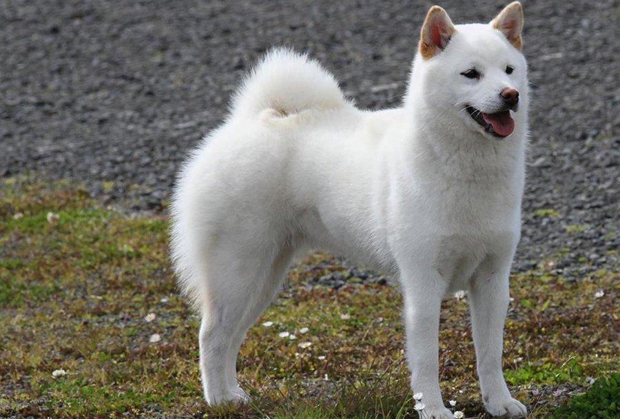 Пхунсан: как выглядят эти собаки, фото, UAportal