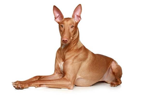 Pies faraona l