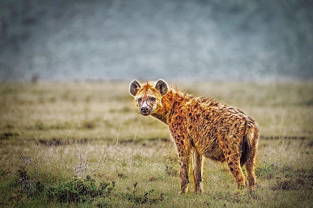 Пятнистые гиены фото.