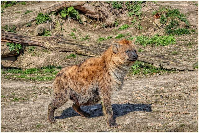 Пятнистая гиена фото самки.