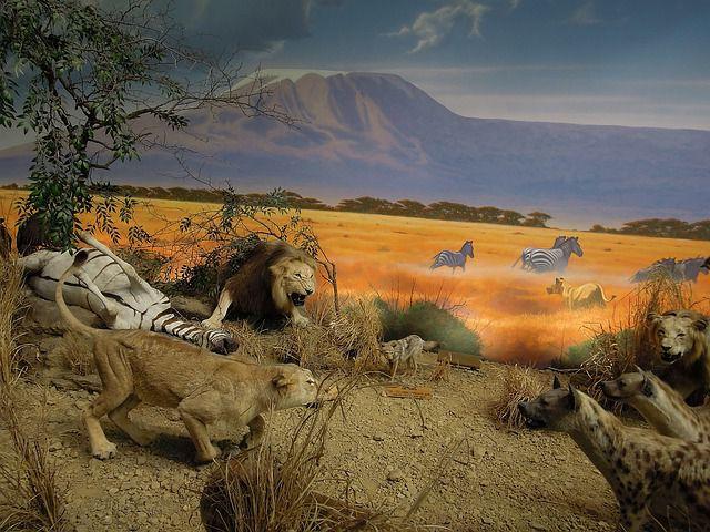 Пятнистые гиены на охоте фото.