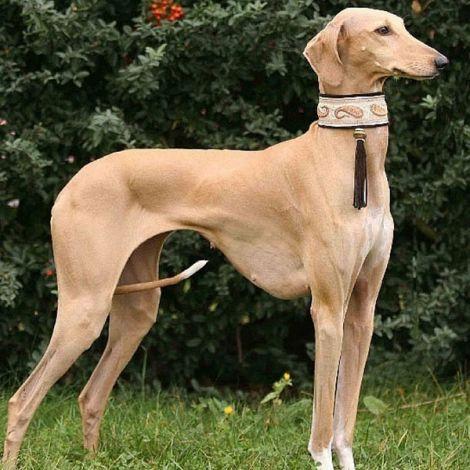Самые редкие породы собак в мире – Слюги/Арабская Борзая (Марокко) | МОСОХОТА
