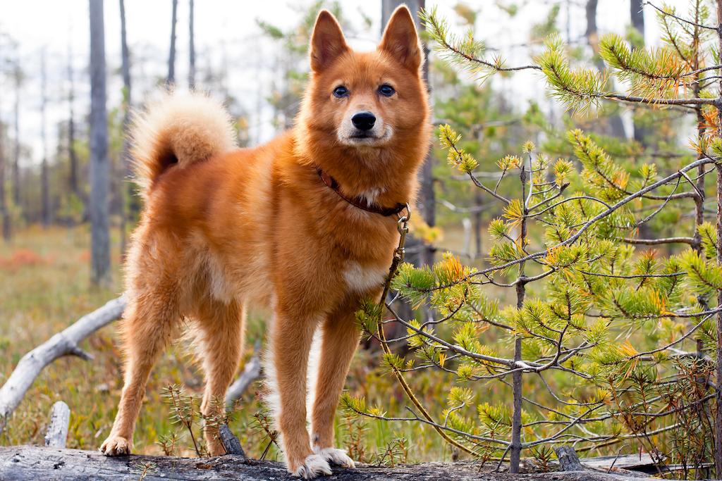 Самые редкие породы собак в мире –
